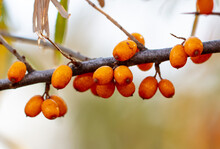 Orange Berries Of Sea Buckthorn On The Branches