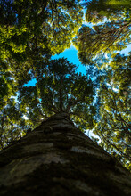 Low Angle Shot Of A Kauri Tree With A Close Looking Of Its Log. Looking Up Tree.