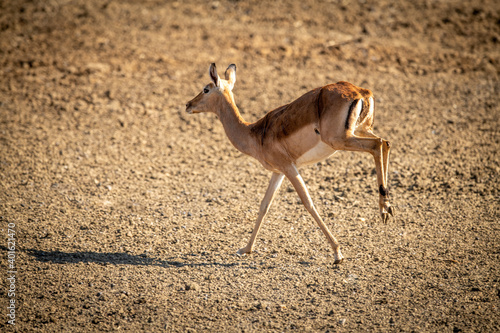 Photo Female common impala throws up hind legs