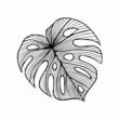 Tropikalny liść rośliny monstera, rysunek odręczny.