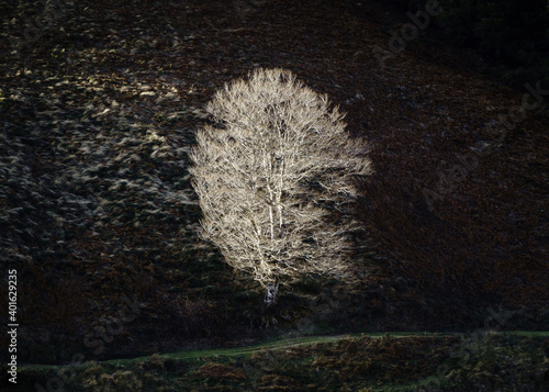 Valokuva Single birch tree lit by side sun light on hillside in winter