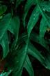 Naturalne piękne roślinne tło, zbliżenie na zielone liście, krople wody, roślinna tekstura.