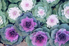 Ornamental Cabbages Decorating In Garden. Decorative Cabbage Plant