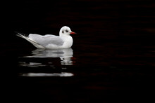 A Black-headed Gull (Chroicocephalus Ridibundus) Swimming And Forgaging In The Dark.
