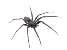 Green-fanged Tube Web Spider Isolated On White Background, Segestria Florentina