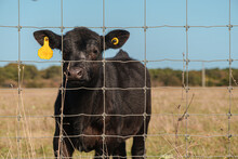 Close-up View Of A Juvenile Cow With A Yellow Ear Tag In A Grassy Field And Behind A Wire Fence