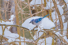 Blue Jay Bird Perched On Snowy Tree Branch In Forest In Winter
