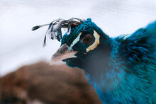 A Closeup Shot Of A Beautiful Blue Peacock With A Frozen Crest On Top Of His Head
