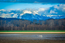 Trumpeter Swans In The Skagit Valley. The Skagit Valley Is Visited By Thousands Of Swans Each Winter Coming From Alaska, With The First Arrivals Settling Down In Early November.