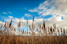 Cat Tails On The Skagit River Delta.  Cattails Are Important To Wildlife, And Many Species Are Also Cultivated Ornamentally As Pond Plants And For Dried-flower Arrangements.