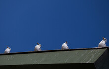 A Low Angle Shot Of Four Seagulls Sitting On The Edge Of A Roof Under The Clear Blue Sky