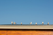 A Closeup Of Seagulls On A Roof During Daylig