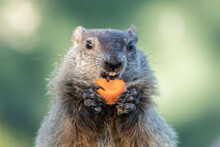 Groundhog, Marmota Monax, Closeup Center Holding Carrot Near Open Mouth Clean Background