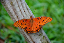 Gulf Fritillary Stretches Out Over Wood