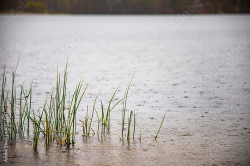 Obraz A selective focus shot of grass growing in a pond - fototapety do salonu