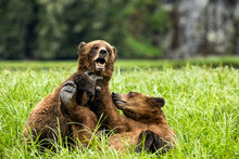 A Selective Focus Shot Of Two Grizzly Bears Play Together In Khutzeeymateen Provincial Park