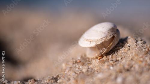 Fotografie, Obraz Clam shell in the sand on sandy beach
