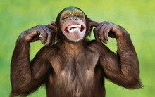 Monkey Laughing And In Joking