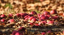 Apple On The Autumn Leaves