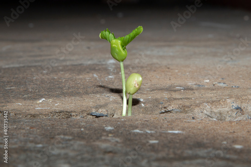 Fotografia, Obraz A young seedling emerged from the crack in the cement road