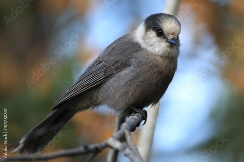 Gray Jay - Perisoreus canadensis, perched in a tree Glacier NP Montana Fototapet