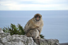 Closeup Furry Senior Ape With Blurred Ocean Background And Copy Space. Gibraltar Barbary Macaque Monkey Sitting At Cliff Rock And Looking Into Camera