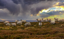 A Flock Of Swaledale Sheep On A Winter's Evening, Grazing On Open Heather Moorland In The Yorkshire Dales, UK. December.  Horizontal.  Space For Copy