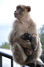 Mother Monkey Sits On Fence And Holds Embracing Cute Sleeping Ape Baby With Black Fur Head. Barbary Macaque Family In Wild Nature Of Gibraltar. Two Primate Animals Closeup