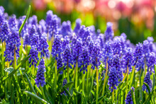 Grape Hyacinth In Park