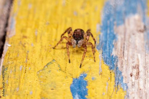 Small Jumping spider Fototapet