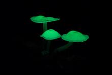 Bioluminescent Fungi At Night In Monteverde Cloud Forest, Costa Rica