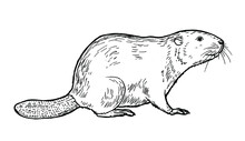 Drawing Of Beaver - Hand Sketch Of Mammal