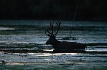 Red Deer Walking In Water