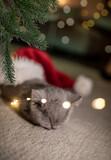 Fototapeta Natura - british shorthair baby cat in santa hat