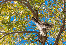 A Well Timed Photo Of A Muting Red Tailed Hawk At The San Jacinto Wildlife Area Near Perris In Southern California