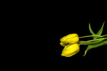 Three Yellow Beautiful Tulips On A Black Background