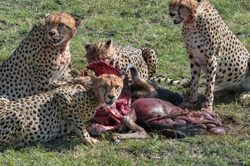 Male cheetahs know as the five brothers eat a freshly killed wildebeest in the Maasai Mara during the great migration in Kenya.
