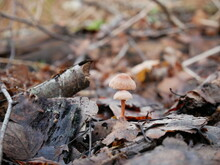 Two Small Mushrooms Growing On The Forest Floor In Autumn
