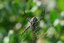 A Selective Focus Shot Of Banded Argiope Spider On Web