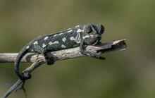 A Selective Focus Shot Of Mediterranean Chameleon Walking On A Fennel Twig
