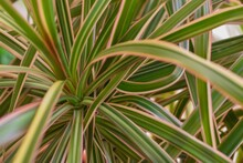 Close Up Of Bright Green Leaves With Pink Edges Of A Dragon Tree Plant.