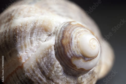 Fototapeta A soft focus of the base of a conch shell against a black background