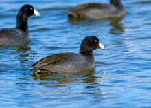 American Coot - Fulica Americana - Or Mud Hen Swimming In A Lake