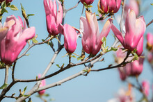 A Beautiful Shot Of Pink Magnolia On A Blue Sky Background