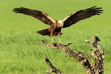 Western Marsh Harrier Adult Male Bothered By A Common Magpie