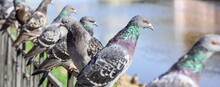 A Lot Of Gray Pigeons Sitting On The Iron Fence Of The River On The City Embankment. Selective Focus. Banner.