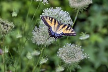 A Photograph Of A Colorful Eastern Tiger Swallowtail Perched Upon The White Flowers Of A Queen Anne's Lace With Green Background.
