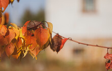 Branches Of An Apricot Tree With Yellowed Leaves On The Background Of The House. Selective Focus.