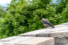 A Selective Shot Of A Hooded Crow Bird Standing On The Wall In Ljubljana, Slovenia