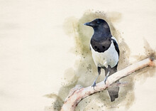 Magpie Bird On The Branch ( Pica Pica ) - Watercolor Art
